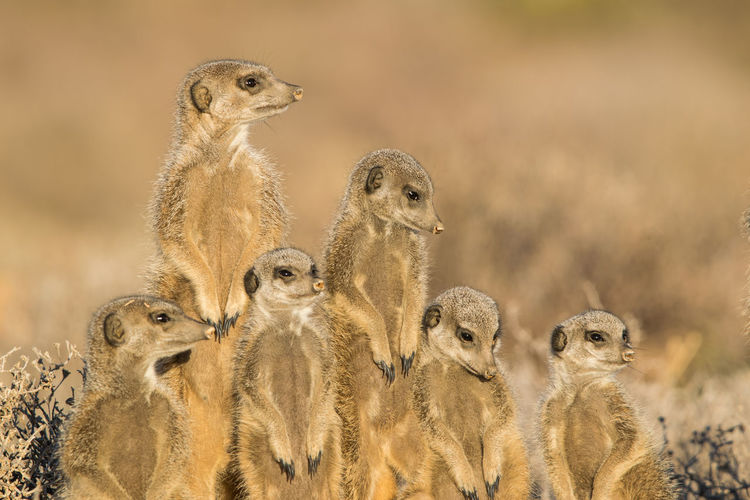 Animal Themes Animal Wildlife Animal Animals In The Wild Group Of Animals Meerkat Vertebrate Mammal Standing Alertness Protection No People Togetherness Nature Guarding Looking Desert Focus On Foreground Safari Security Animal Head  Animal Family Animal Eye Meercat  Meercat Family