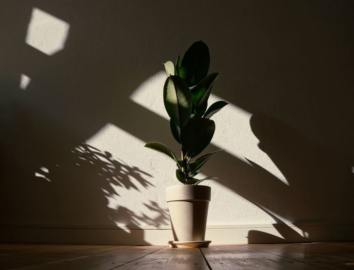 Louise enjoys a little afternoon light just as much as I do. Afternoon Plant Life Plants Afternoon Tea Day Ficus Home Interior Indoors  Leaf Light And Shadow Minimal Minimalist Interior Nature No People Plant Plant Part Potted Plant Shadow Sunlight Wall - Building Feature Warm Light EyeEmNewHere Capture Tomorrow