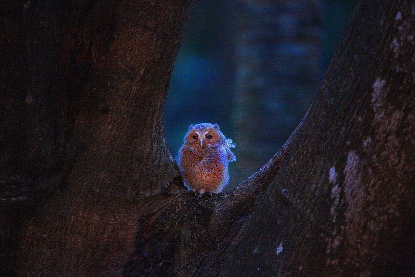 黑夜的降臨 - 貓頭鷹BB Otus Bakkamoena Otus Scops Owl Animal Themes Animals In The Wild Sea Life Animal Wildlife Animals In The Wild Underwater UnderSea Animal Themes Marine Animal Sea One Animal Nature Invertebrate Water No People Outdoors Night Vertebrate Illuminated