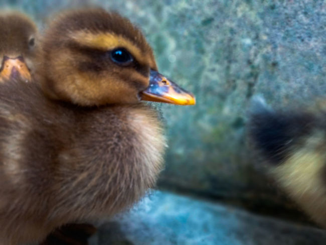 Duckling Bird Young Bird Close-up Animal Themes One Animal No People Day Outdoors Nature EyeEmNewHere Freshness Beauty In Nature Growth Focus On Foreground Be. Ready.