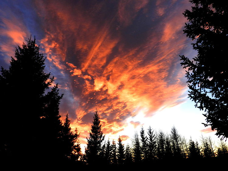 Beauty In Nature Cloud - Sky Day Dramatic Sky Environment Forest Growth Landscape Low Angle View Majestic Nature No People Orange Color Outdoors Scenics Silhouette Sky Sunset Tranquil Scene Tranquility Tree Tree Area Evergreen Tree Pine Wood Pine Woodland Moody Sky Treetop Plant Life Growing