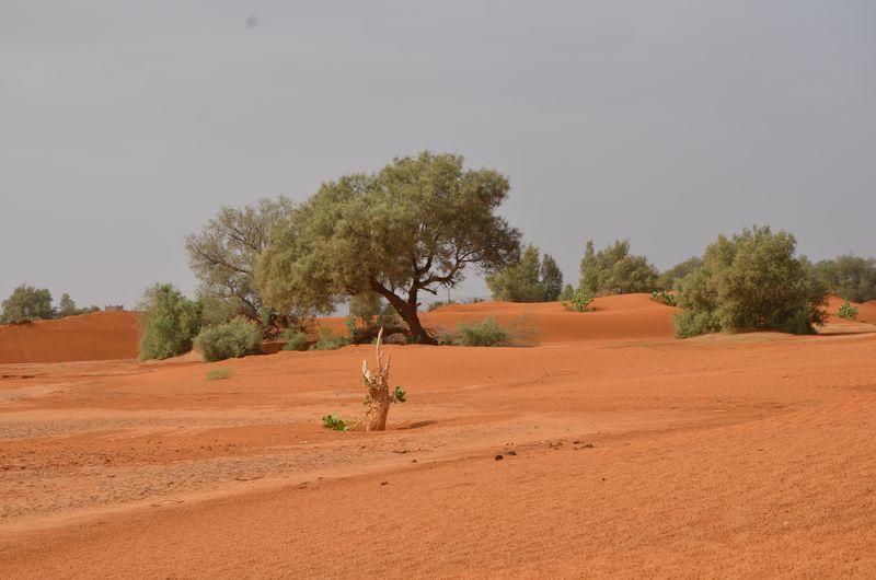 Trees on desert against sky