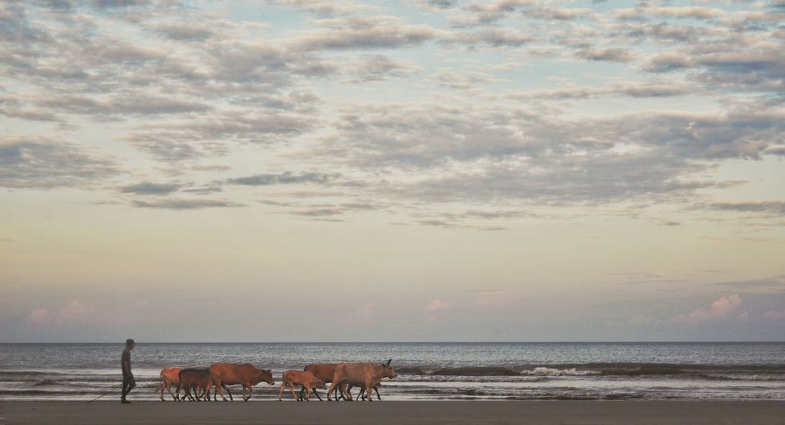Walking the cows on the beach Photosbyallen Travelphotography Cows Sapi Kota Belud Sabah