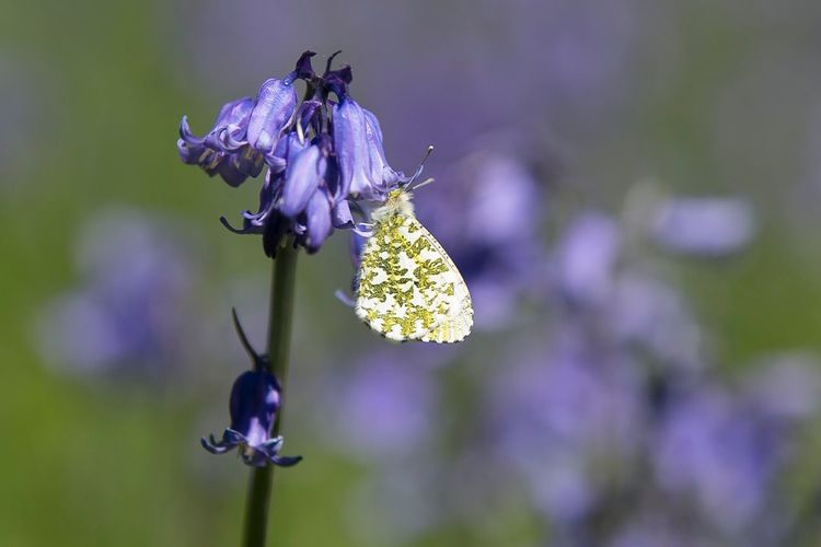 Bluebells Bluebell Nature_collection Blueflower Blue Flowers Plants Garden Photography Garden Reconnecting  Relaxing Time To Reflect Time Out Changes Butterfly ❤ Butterfly Butterfly Collection Scotland