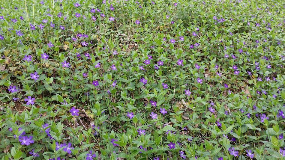 Primavera Violet Violetta Violette Parco Profumo Prato Natura Fiori Estate Estate2016