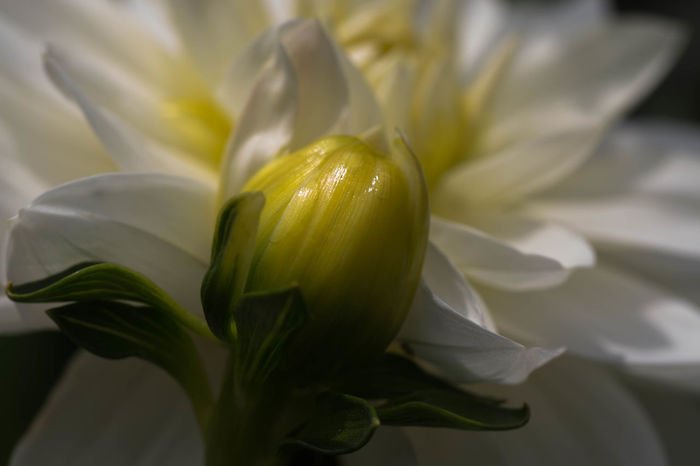 Beauty In Nature Button Close-up Day Flower Flower Head Freshness Growth Nature No People Outdoors Petal Plant