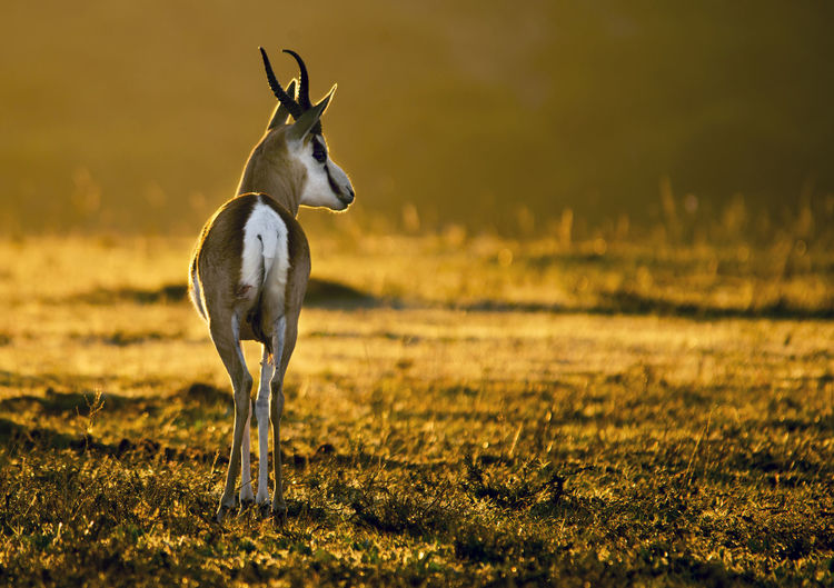 Springbok on field during sunset