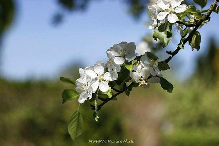 Apfelblüte Apfel Apfelbaum  Appletree AppleBloom Appleblossom AppleBlossoms Mv MVP Meckpomm Mecklenburg Mecklenburgvorpommern Mecklenburg_vorpommern Germany Deutschland Mvliebe Mv_liebe