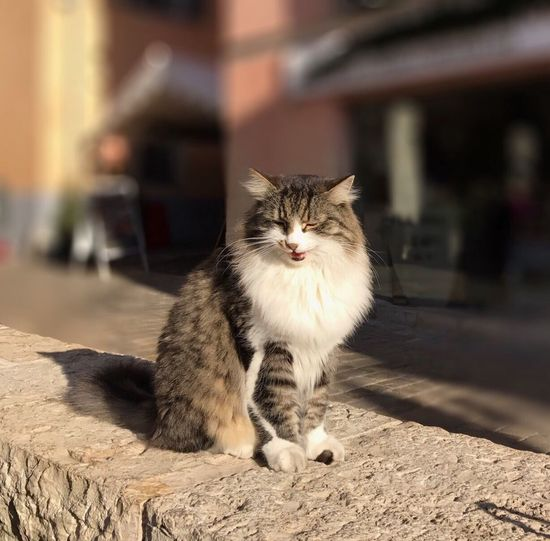 Coffee shop kitty Domestic Cat Domestic Animals One Animal Animal Themes Mammal Pets Feline Focus On Foreground Looking At Camera Whisker Portrait No People Day Close-up Outdoors Le Chat Qui Rit Smiling Cat Cat Domestic Long Haired