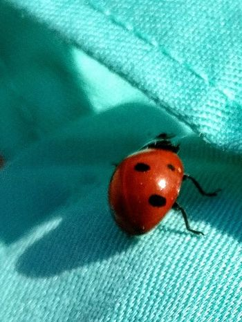 Ladybug Ladybugs Photography Nature Close Up Animals In The Wild Insects  Red Spring Springtime Ladybug On Shirt No People Sunny Day Beatle Simple Beauty