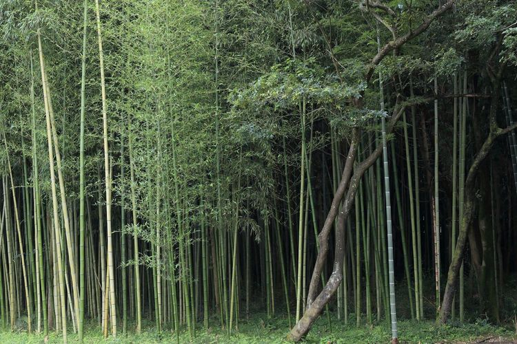 Bamboos and trees growing on field
