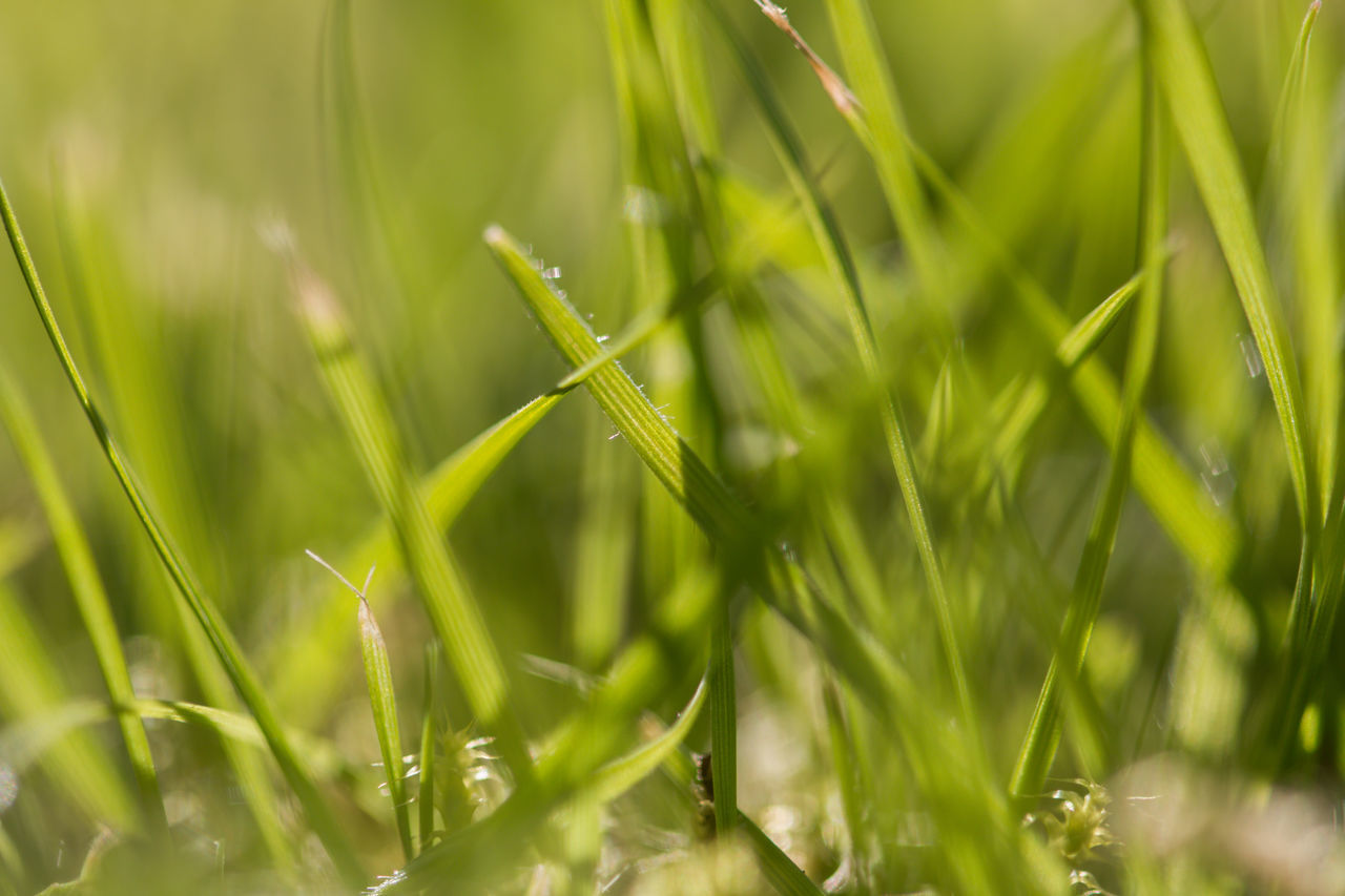 green color, growth, grass, nature, plant, close-up, selective focus, day, no people, outdoors, beauty in nature, freshness, fragility