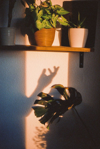 Shadow of person on potted plant at home