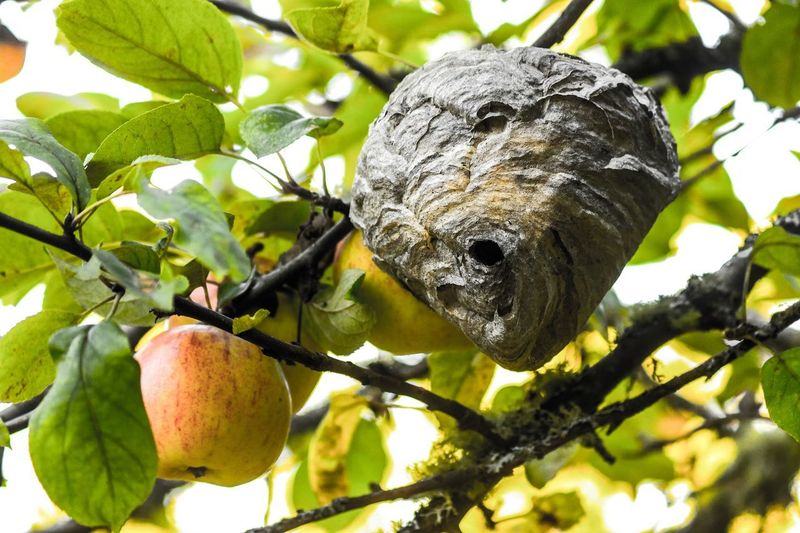 Hive Nest Tree Healthy Eating Fruit Plant Food Food And Drink Leaf Growth Low Angle View Nature No People Close-up Green Color Day Branch Outdoors Focus On Foreground