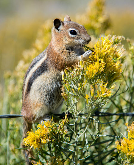 Aug - 2018 Late Summer Colours Animal Animal Themes Animal Wildlife Animals In The Wild Chipmunk Day Eating Flower Flowering Plant Focus On Foreground Herbivorous Mammal Nature No People One Animal Outdoors Profile View Rocky Mountains Rodent Vertebrate Yellow