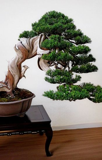 Bonzai Bonsai Tree Day Growth Indoors  Nature No People Plant Potted Plant Sculpture Statue Table Tree