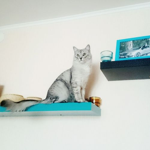 Animal Pets Indoors  мой кот луна So Lovely Cats Of EyeEm кошки