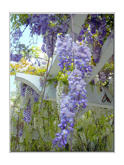 Flowers In The Garden 2 Wisteria Sinensis Fabaceae Leguminosae Climbing Schrub Garden Early Spring Meek Mansion Cherryland, Ca. Pale Bluish-lilac Flowers Flowers In Bloom Pergolas Flower_Collection Garden _collection Nature Beauty In Nature Nature_collection Garden Photography Garden _lovers Landscape Landscape_photography Landscape_Collection Blossoms  Bines Botany Horticulture