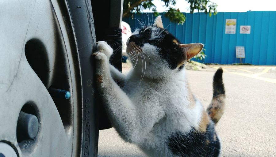 Cat rearing up on car