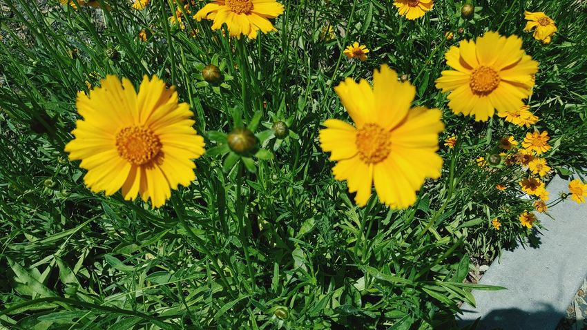 Flower Yellow Nature Growth Petal Plant Freshness Beauty In Nature Flower Head Fragility Blooming High Angle View No People Field Outdoors Sunflower Day Black-eyed Susan Springtime Close-up