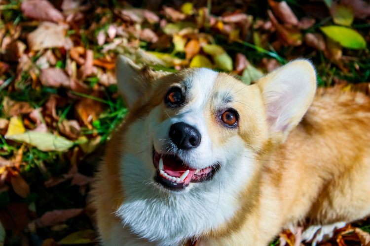 Welsh corgi pembroke in autumn while walking on a background of yellow leaves plays