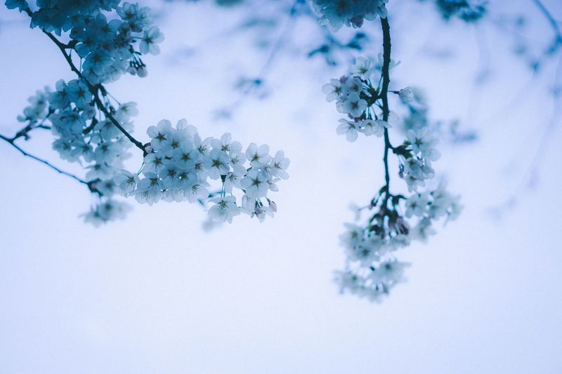 Reborn. EyeEm Best Shots Spring Sakura EyeEm Selects Plant Nature No People Tree Winter Beauty In Nature Day Cold Temperature Flower Flowering Plant Outdoors Backgrounds Blue