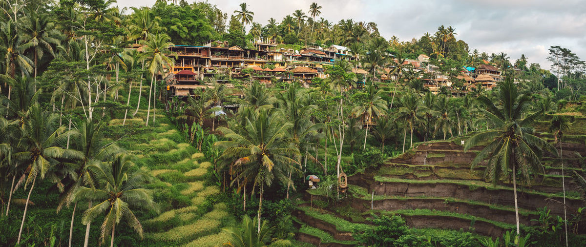 Panoramic shot of palm trees and houses in village