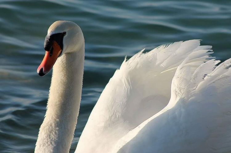 Nature_collection Love White Lake Water Beautiful Tranquility Bluewater Showcase April Things I Like Swan Lake Swan White Color White Bird Nature Naturelovers Animals Bird Sun taking Taking Pictures Relaxing Holiday Italy Love ♥