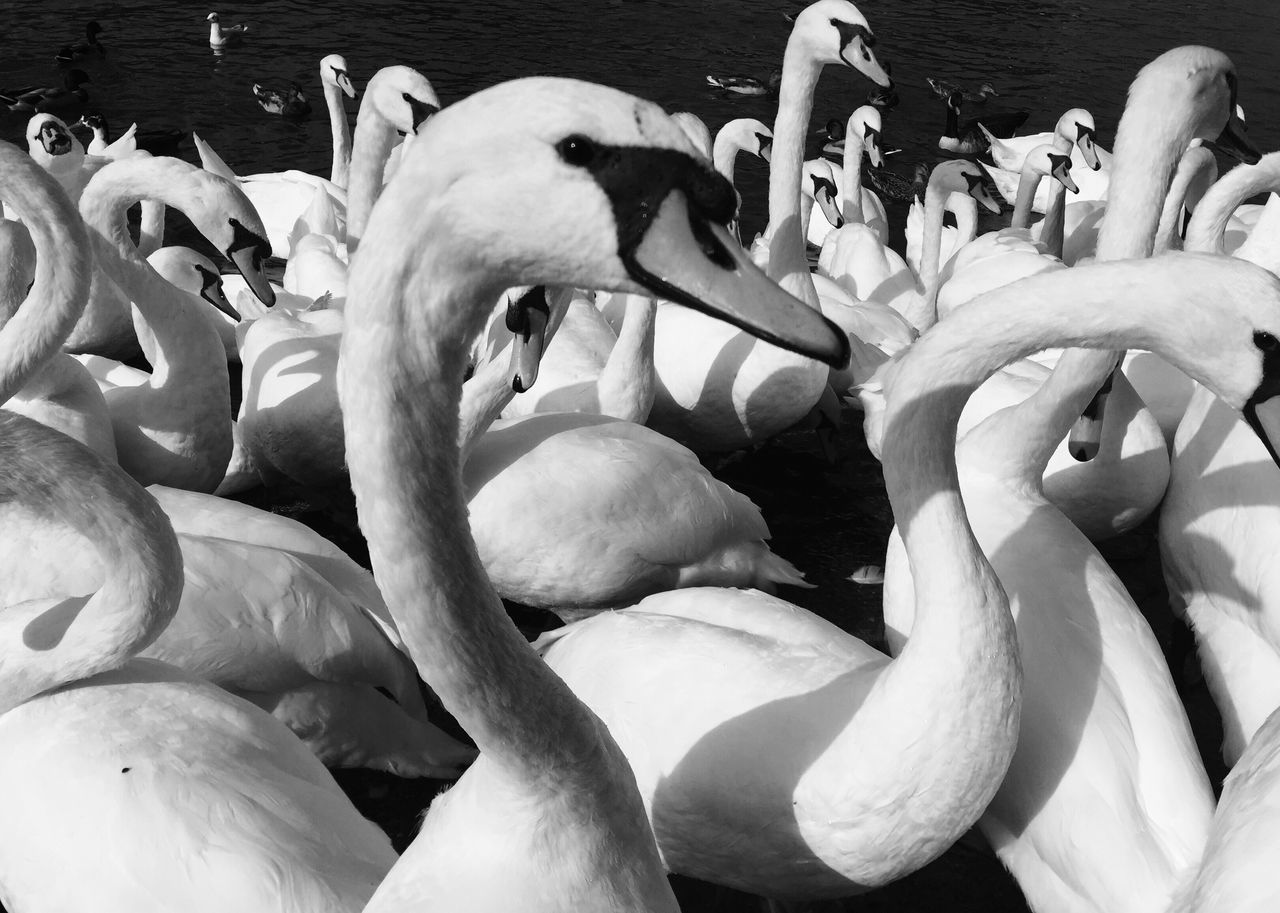 animal themes, animals in the wild, bird, swan, animal wildlife, water, nature, white color, lake, no people, large group of animals, water bird, flamingo, swimming, day, beak, togetherness, outdoors, close-up