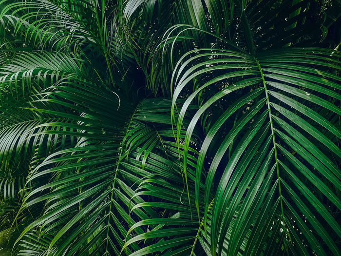 Tropical Palm leaves in the garden. Green Color Leaf Growth Plant Part Plant Beauty In Nature Full Frame Palm Tree Backgrounds Palm Leaf Nature Close-up No People Tree Tropical Climate Outdoors Day Frond Tranquility Botany Rainforest Leaves
