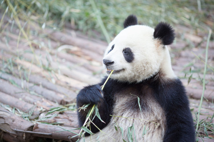 Panda eating bamboo plant in zoo