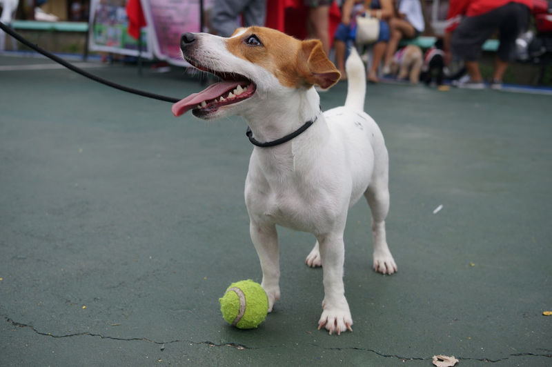One Animal Animal Canine Dog Domestic Animals Pets Mammal Jack Russell Jack Russell Terrier Ball Mouth Open