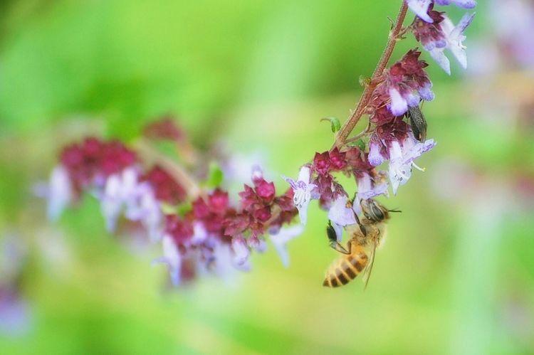 蜂 花 Flower