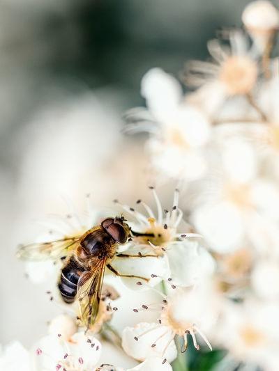 False Bee