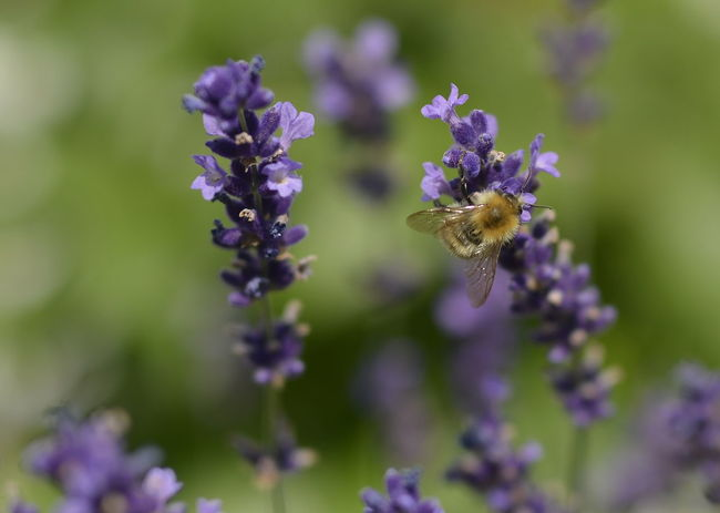 Honey bee lunch Animal Animal Themes Beauty In Nature Bee Close-up Flower Flower Head Flowering Plant Fragility Freshness Growth Honey Bee On Flower Insect Invertebrate Lavender Nature No People One Animal Outdoors Petal Plant Pollination Purple Vulnerability
