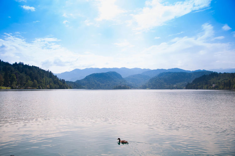 Animal Animal Themes Beauty In Nature Bird Bled Bled Lake Slovenia Bled, Slovenia Cloud - Sky Day Duck On Surface Duck On The Lake Ducks Lake Mountain Nature No People Outdoors Sky Swan Swimming Tranquil Scene Tranquility Water