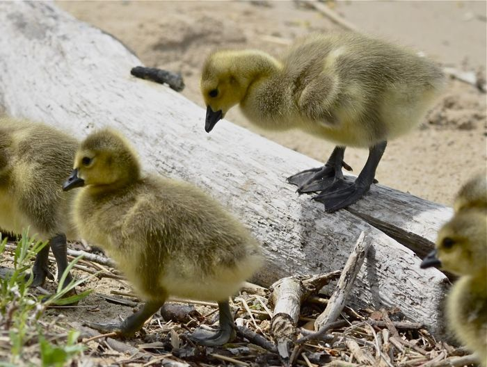 Branta Canadensis Maxima Cautious Michigan New Buffalo, Michigan Animal Animal Family Animal Themes Animal Wildlife Animals In The Wild Beach Bird Branta Canadensis Canada Geese Cygnet Day Goose Gosling Group Of Animals Nature No People Outdoors Two Animals Vertebrate Young Animal Young Bird