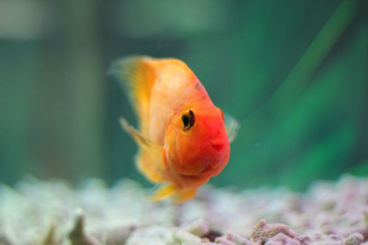 Close-up of goldfish swimming in tank