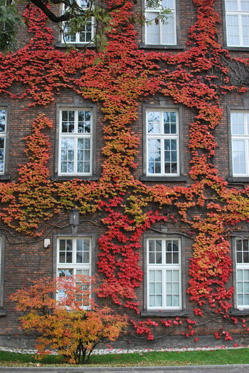 Architecture Autumn Beauty In Nature Building Exterior Built Structure City Day Flower Growth House Ivy Leaf Nature No People Outdoors Plant Residential Building Tree Window