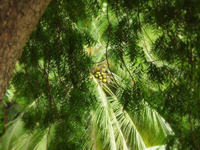 Coconut Through