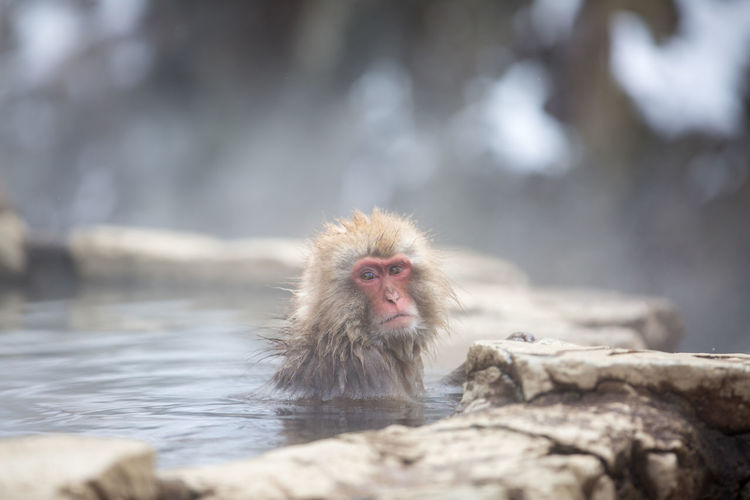 Animal Wildlife Animals In The Wild Cold Temperature Day Hot Spring Japanese Macaque Looking At Camera Mammal No People One Animal Outdoors Portrait Primate Rock Selective Focus Solid Vertebrate