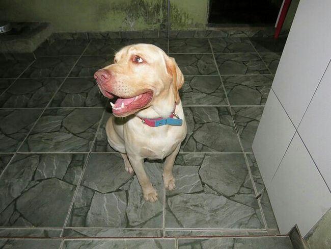 Labrador A Dogs Life Dog