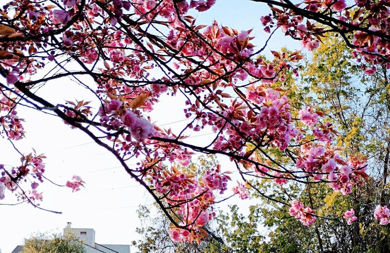 Tree Flower Branch Springtime Clear Sky Pink Color Blossom Flower Head Sky Close-up Flower Tree In Bloom
