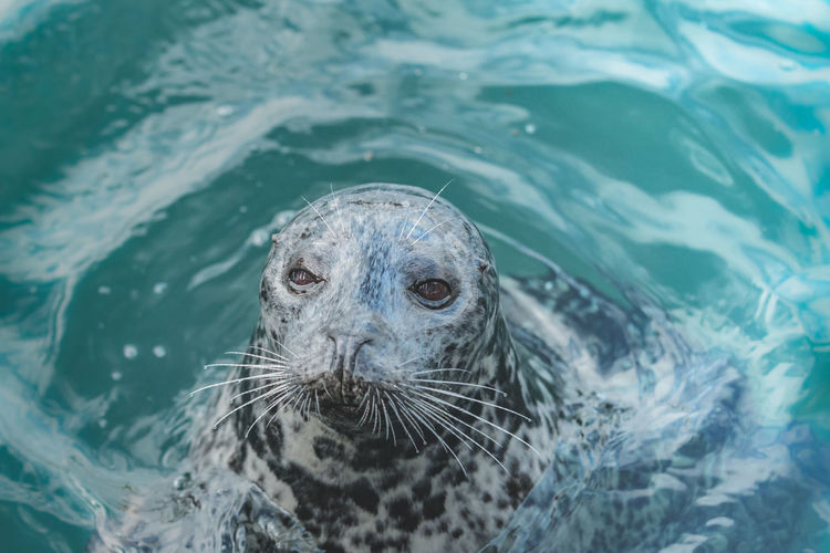 Cute seal in aquatic enviroment Animal Themes Animal Wildlife Animals In The Wild Aquatic Mammal Close-up Day High Angle View Mammal Nature No People One Animal Outdoors Portrait Sea Life Seal Seal - Animal Swimming Water