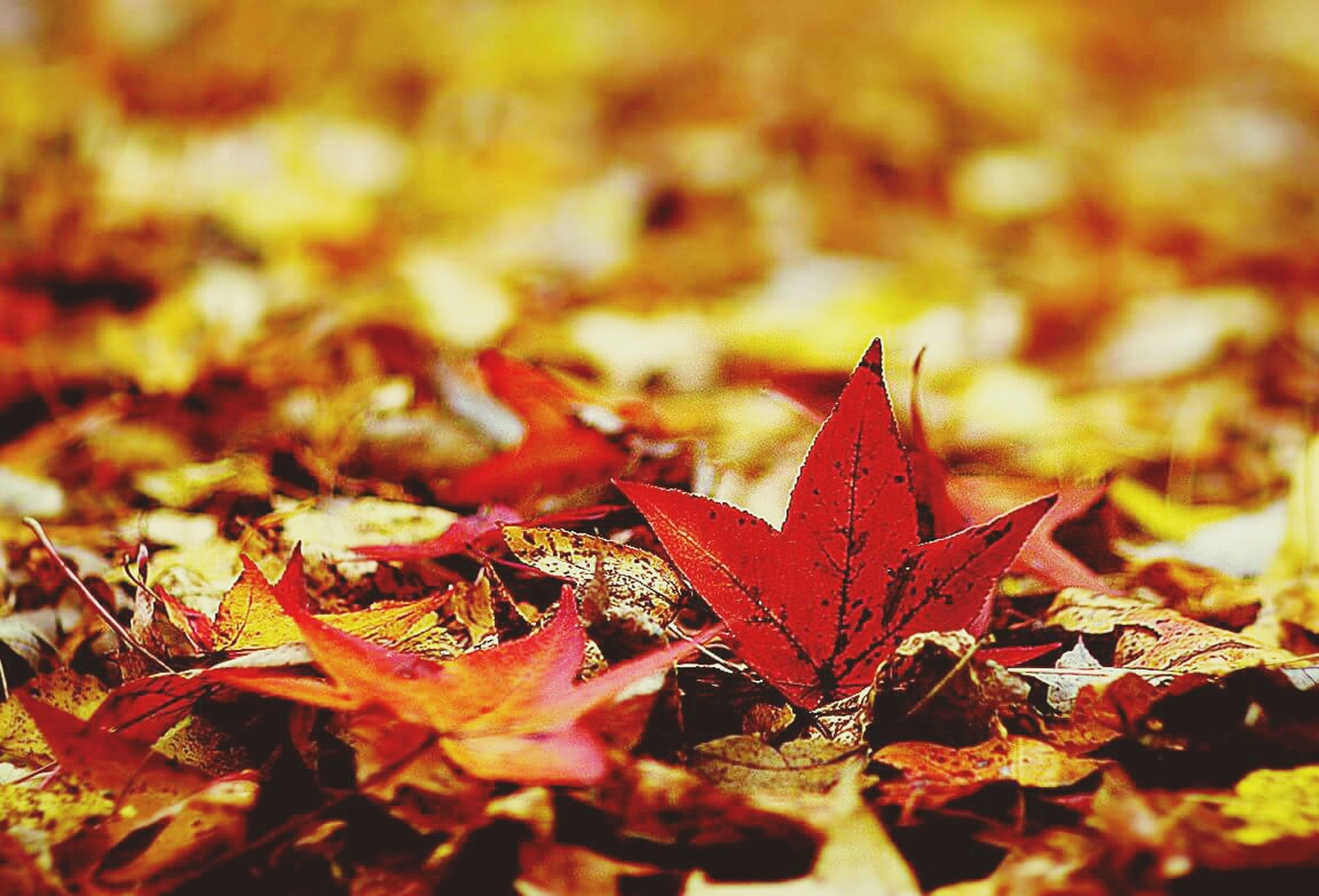 autumn, change, leaf, season, leaves, dry, maple leaf, fallen, orange color, nature, close-up, leaf vein, red, natural pattern, selective focus, fall, tranquility, natural condition, focus on foreground, beauty in nature