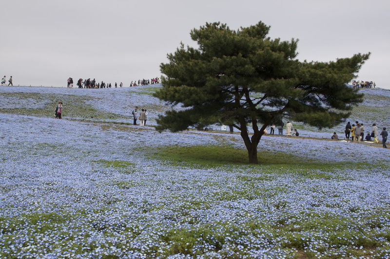 Bloomimg Nature Flower BabyBlueEyes Blue Flowers Nemophila