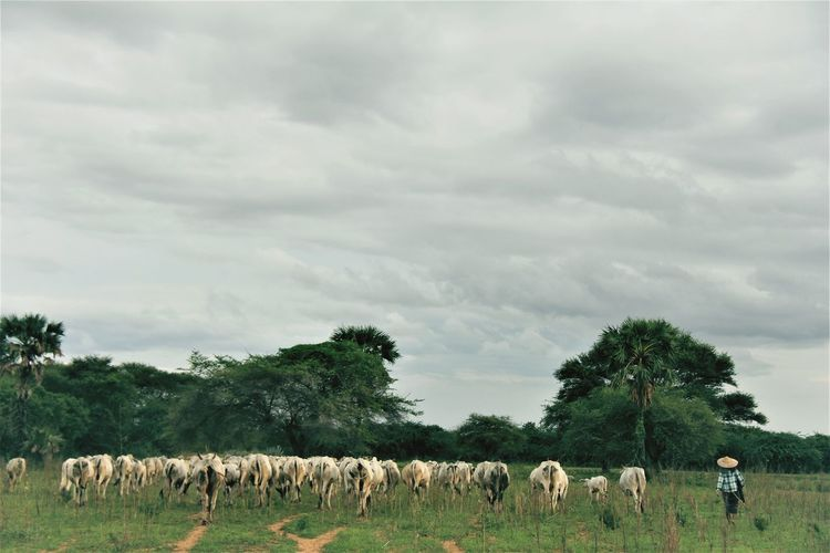 View of sheep on field against sky