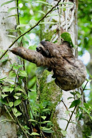baby Luiaard also known as Sloth is learning How To climb a tree. is this Tree Branch  Strong enough? appearantly not, because a second later the sloth fell on the ground. luckily for the sloth a vet was present to check it out. Cahuita Wildlife Refuge Costa Rica (c) 2015 Shangita Bose All Rights Reserved Snbcr Nature's Diversities