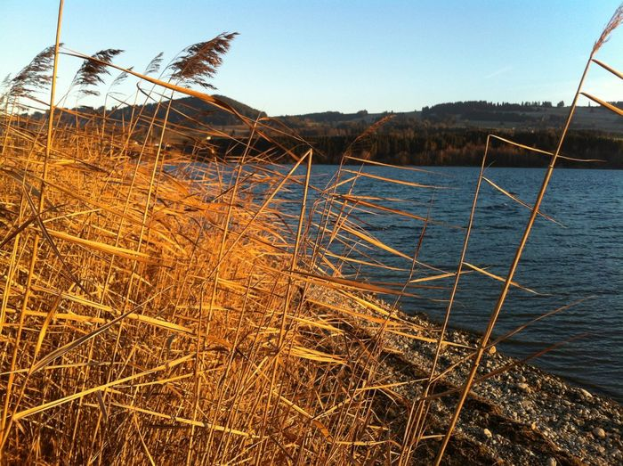 Water reed.