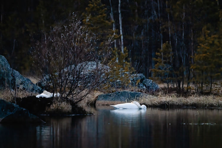 Scenic view of swans on lake in forest